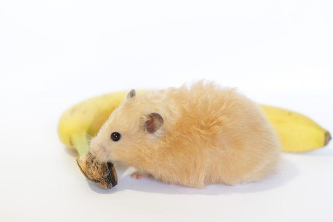 Can Hamsters Eat Bananas