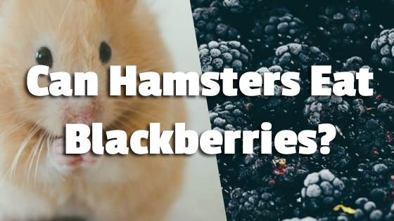 Can Hamsters Eat Blackberries