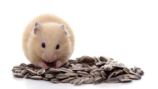 Can Hamsters Eat Sunflower Seeds