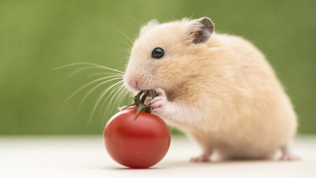 Can Hamsters Eat Tomatoes