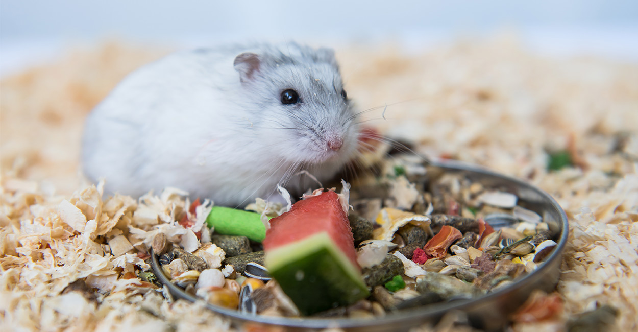 Can Hamsters Eat Watermelon?