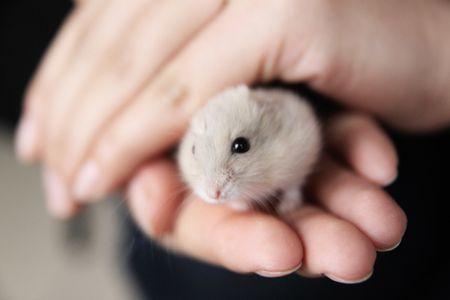 Chinese Hamsters - All About Chinese Hamsters