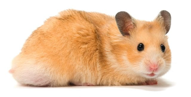 Hamster Diet & Nutrition Guide