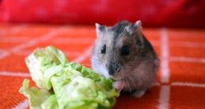 Can Hamsters Eat Lettuce
