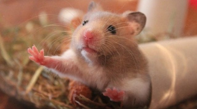 Can Hamsters Eat Canary grass seed