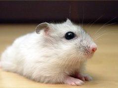 Dwarf Hamster Food List
