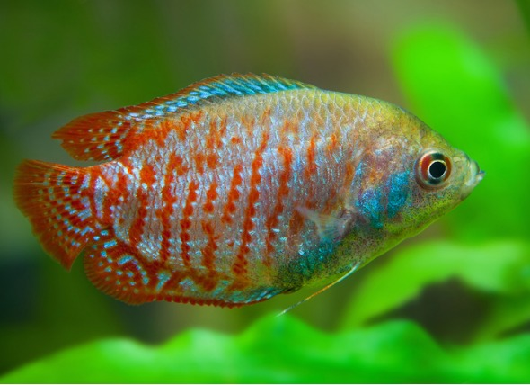 7 Freshwater Fish That Are Perfect for a 10-Gallon Tank