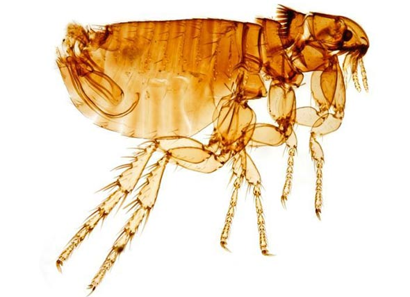 About the Cat Flea