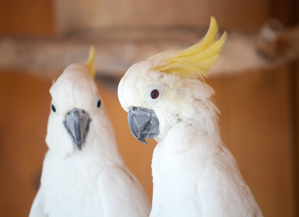 All About Cockatoos