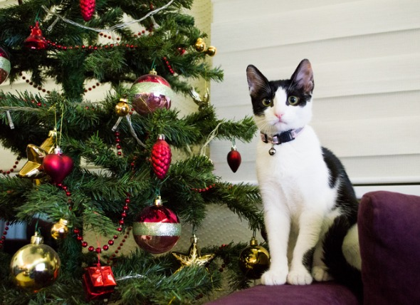 Can Cats and Christmas Trees Coexist?