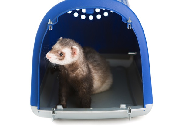 Cost of Caring for a Ferret