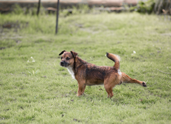 Dog Behavior: Why Do Dogs Kick Their Feet After Pooping?
