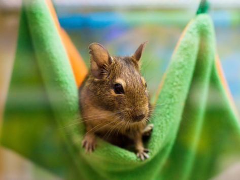 Everything You Need to Know About Caring for a Degu