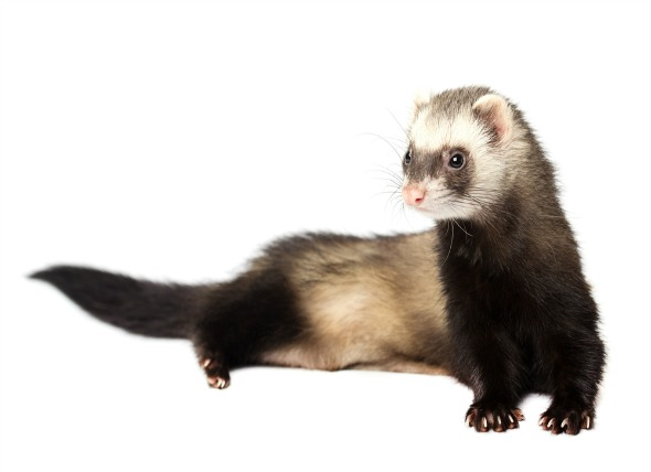 Getting Your First Ferret