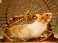 Hamster Wheels - Should you get a wheel for your hamster?