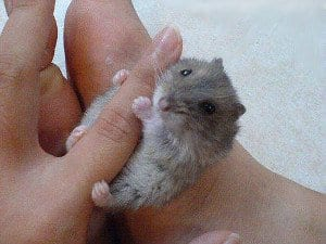 Hamster facts: 10 facts about hamsters