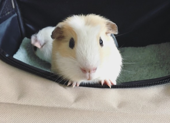 How to Safely Transport Your Small Animal to the Vet