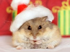 Fat Hamsters! Is your hamster too fat?