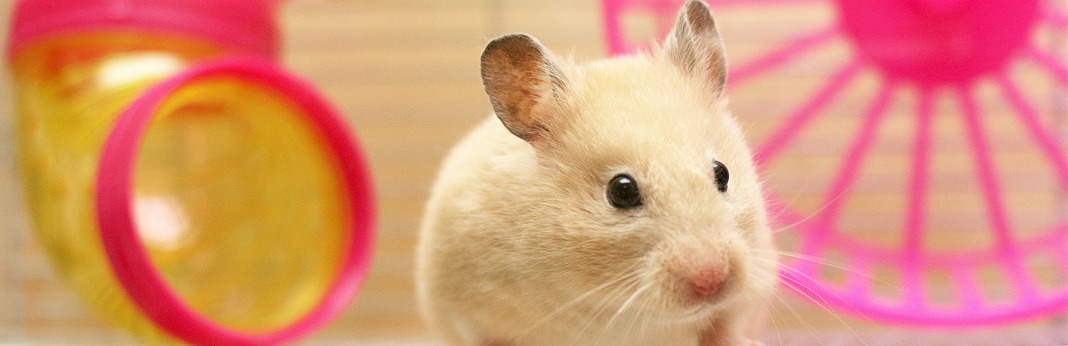 How to Clean Your Hamster and Her Habitat - Hamster Care Guide