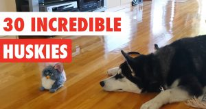 30 Incredible Huskies | Funny Dog Video Compilation 2017