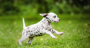 Dalmatian Dogs Compilation - Funny Dog Videos
