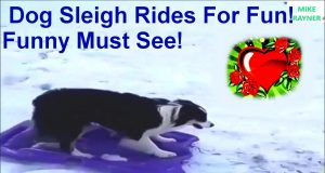 Amazing Dog Sleigh Rides For Fun! Funny Must See! Best Dog Sledding