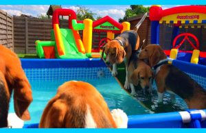 Funny Beagle Dogs Having a Pool and Bounce House Party : Louie The Beagle