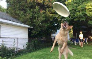 Frisbee dog fail    Perro intenta agarrar un frisbee pero...