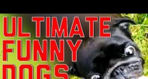 Ultimate Funny Dogs Compilation by FailArmy HD