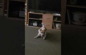 Funny dog after bath