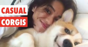 Casual Corgis | Funny Dog Video Compilation 2017