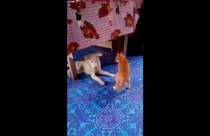FUNNY DOG AND CAT VIDEO