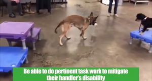 Why Belgian Malinois Do Not Make The Best Service Dogs