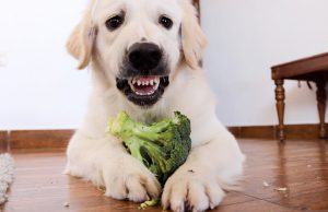 Angry and Cute Dog Protects Food   Funny Puppy Bailey