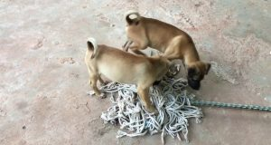 Enjoy Amazing Impressed dog dodo and July puppy funny video - Daily Animals