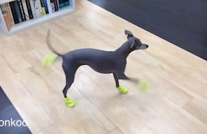 Funny moments of DOGS IN SHOES for the First Time  | Dogs Wearing Shoes Compilation