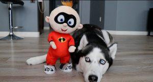 Huskies vs Baby Jack Jack: Funny Dogs Kakoa & Sky
