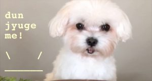 Dumpling Trick Fails : Maltese Puppy Dog Training Bang x100 Failure Blooper