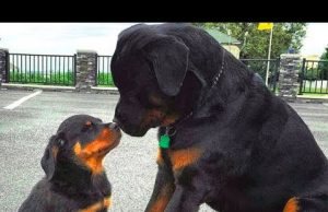 Rottweilers Best Videos Compilation - Funny, Cute Rottweiler Puppies Dogs Barking and Playing