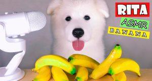 ASMR Dog Eating & Reacts BANANA Mukbang (FUNNY Version #17)