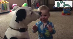 TOP 100 Gentle Pitbull Dogs Falling In Love With Babies - Funny Pitbull and Baby Videos Compilation
