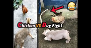 Chicken VS Dog funny moment with nice dog