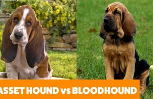 Pets TV  Basset Hound vs Bloodhound - Dog Guide  Funny Pet Videos