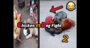Funny Dog Fight with chiken Compilation