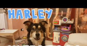 🐶❤ HARLEY THE CUTEST DOG! - Animal Funny Video