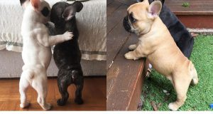 Cute Dogs And Puppies Doing Funny Things Compilation - Cutest French Bulldog Puppies