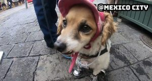 【Puppy with shoes】BEST DOGS  VIDEO # 1 @MEXICO traveling with them