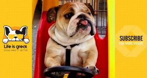 Funniest Dog 🐶 Bulldog Moments | Cute Dogs Video 2019