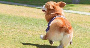 Funny Corgi Dog Tries To Climb Moment