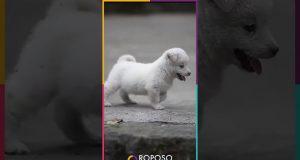 Dog #Pomeranian #WelshCorgi Pomeranian Beat Welsh Corgi |Cute dog ♥ Funny dog